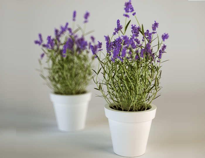 Image result for tanaman lavender di rumah