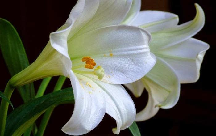 Gambar Cara Merawat Bunga Lili Putih Cantik