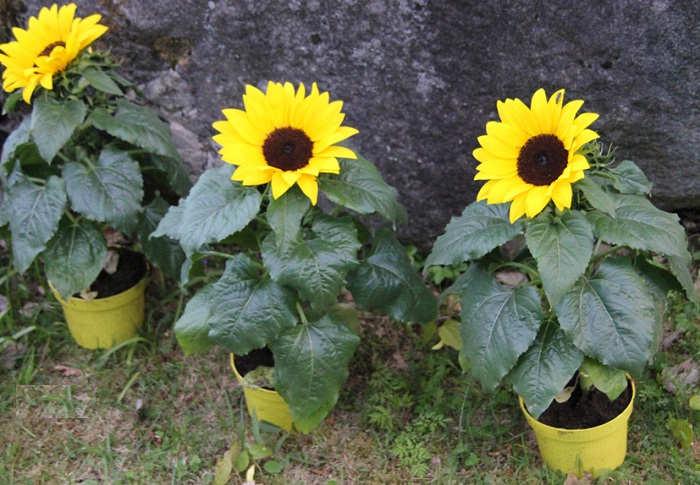 Gambar Cara Merawat Bunga Matahari Rumah Dalam Pot Halaman