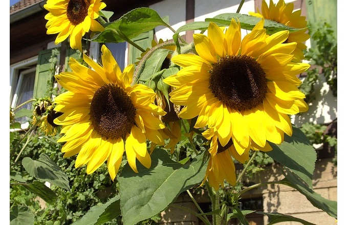 Gambar Cara Merawat Bunga Matahari Rumah Luar Ruangan