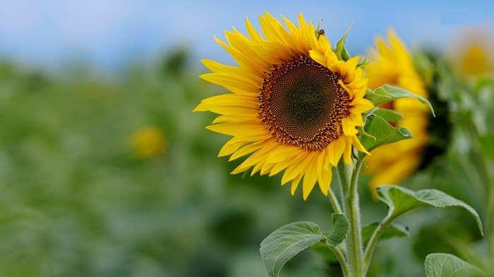 Gambar Cara Merawat Bunga Matahari Rumah yang Baik