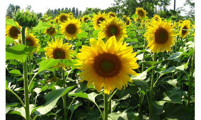 Gambar Cara Merawat Bunga Matahari Rumah