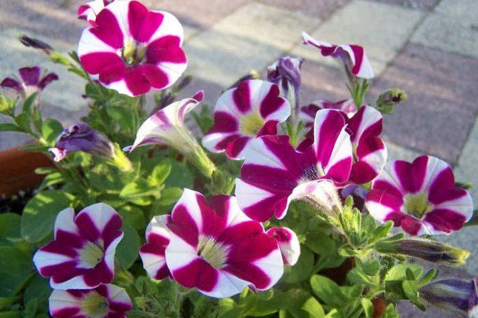 Tanaman Bunga Petunia