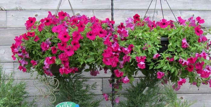 Gambar Cara Merawat Bunga Petunia Gantung