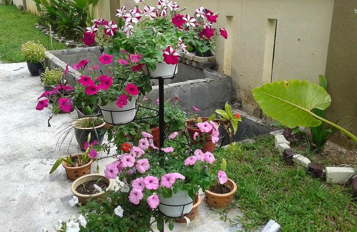 Gambar Cara Merawat Bunga Petunia yang Layu