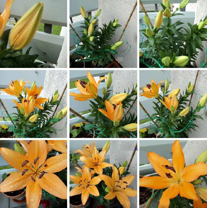 Foto Cara Merawat Bunga Bakung di Apartemen