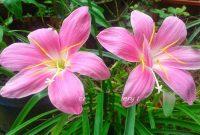 FotoCara Merawat Bunga Bakung di Rumah