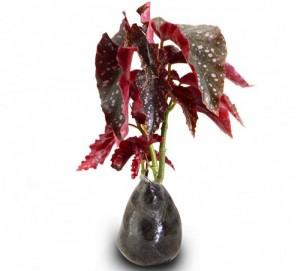 Foto Cara Merawat Bunga Begonia Merah