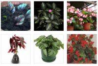 Foto Ragam Cara Merawat Bunga Begonia untuk Budidaya