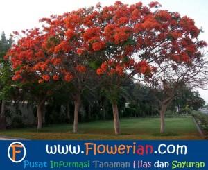 Foto Bagaimana Cara Merawat Bunga Flamboyan