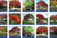 Foto Berbagai Macam Cara Merawat Bunga Flamboyan