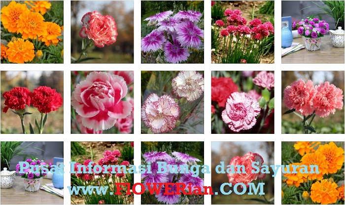 Foto Berbagai Ragam Cara Merawat Bunga Carnation