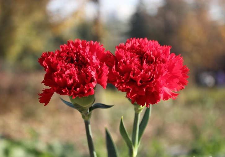 Foto Cara Merawat Bunga Carnation Pekarangan