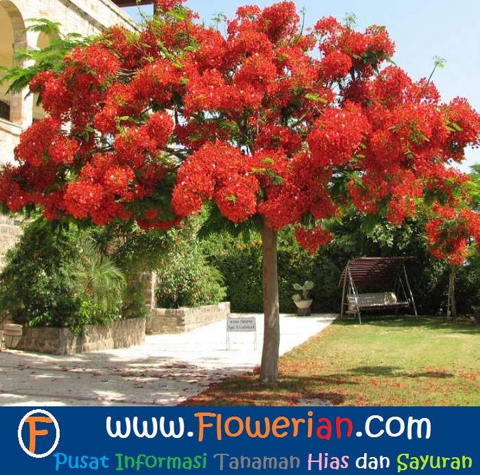 Foto Cara Merawat Bunga Flamboyan Agar Berbunga