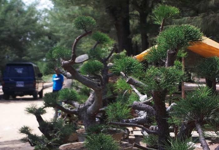 Foto Cara Merawat Pohon Cemara Udang Budidaya