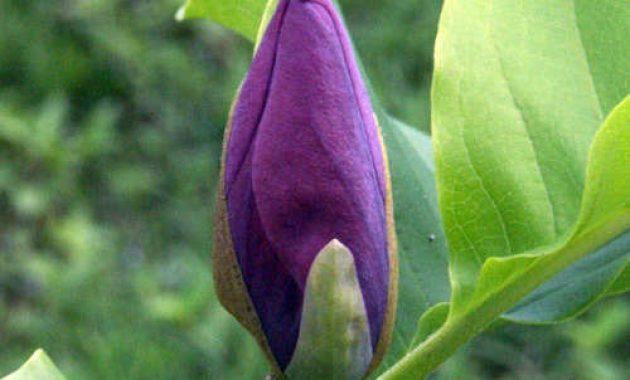 Cara Merawat Bunga Cempaka Merawat Tanaman