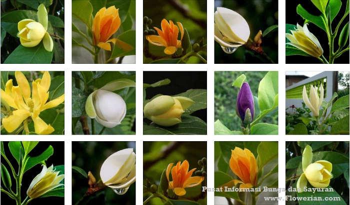 Foto Ragam Jenis Bunga Cempaka