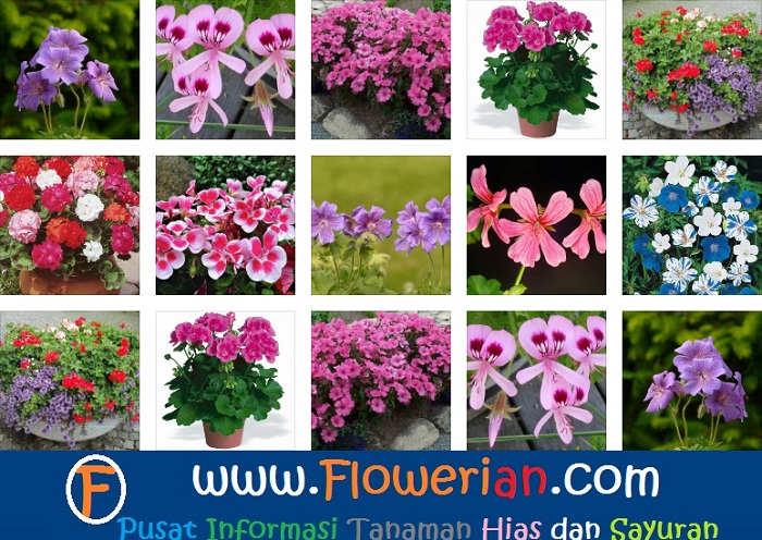 Foto Ragam Merawat Bunga Geranium Agar Berbunga