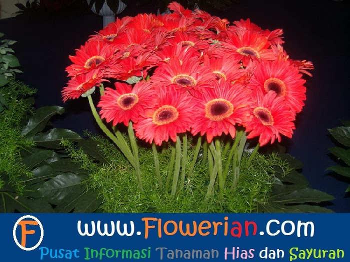 foto Bagaimana Cara Merawat Bunga Gerbera
