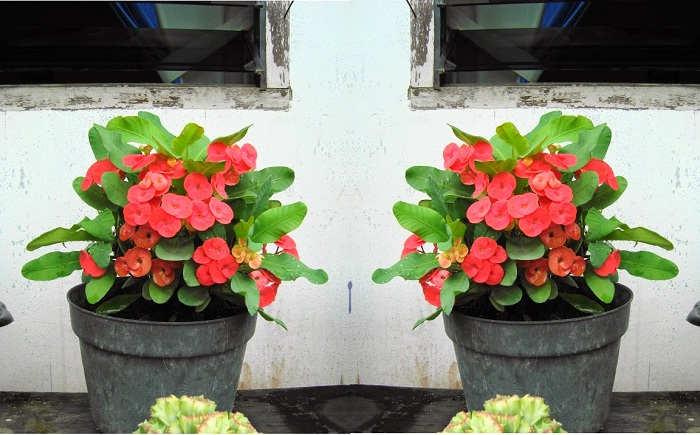 Foto Cara Merawat Bunga Euphorbia di Dalam Pot