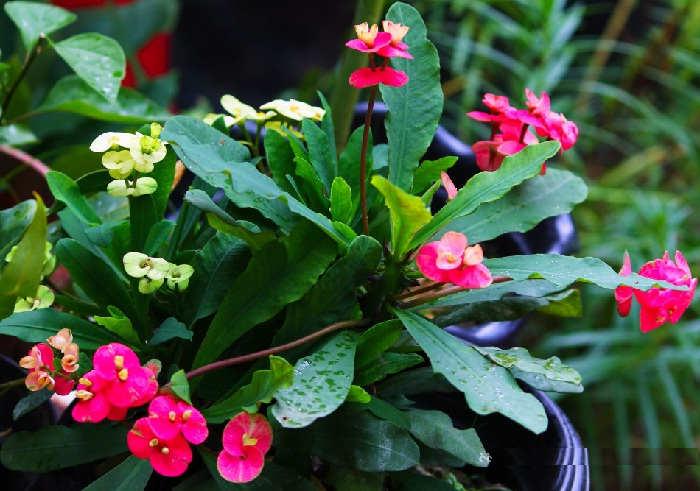 Foto Cara Merawat Bunga Euphorbia di Halaman Rumah