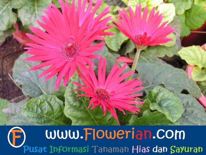 Foto Cara Merawat Bunga Gerbera di Rumah