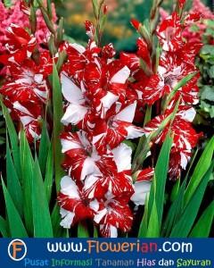 Foto Cara Merawat Bunga Gladiol Batik
