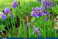 Foto Cara Merawat Bunga Iris Sebagai Hiasan