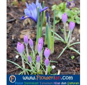Foto Cara Merawat Bunga Iris di Tanah