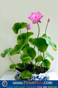 Foto Cara Merawat Bunga Lotus Di Dalam Rumah
