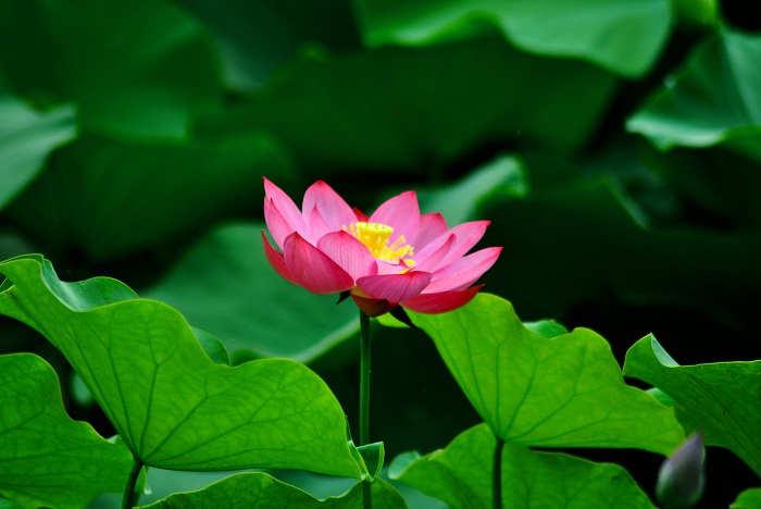 Foto Cara Merawat Bunga Lotus agar Berbunga