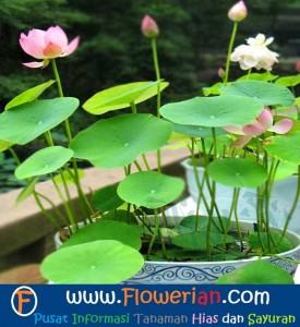 Foto Cara Merawat Bunga Lotus di Dalam Pot