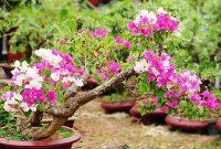 Foto Merawat Bunga Kertas Bonsai