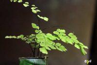 Gambar Foto Merawat Bunga Suplir di Rumah