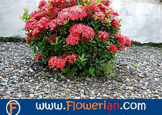 Klasifikasi Tanaman Bunga Soka Informasi Seputar Tanaman Hias