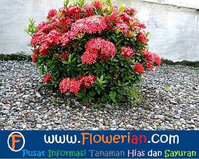Gambar Foto Cara Merawat Bunga Soka di Halaman Rumah