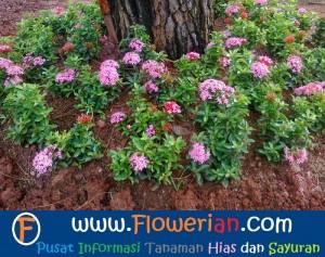 Gambar Foto Cara Merawat Bunga Soka di Taman