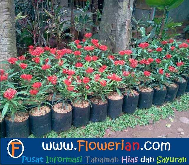 Gambar Foto Cara Merawat Bunga Soka untuk Budidaya - Cara Menanam Bunga Soka