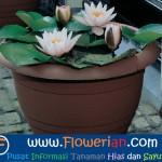 Gambar Foto Cara Merawat Bunga Teratai Cepat Berbunga Di Dalam Pot