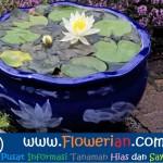 Gambar Foto Cara Merawat Bunga Teratai Cepat Berbunga Secara Alami