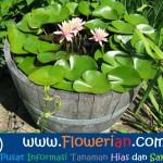 Gambar Foto Cara Merawat Bunga Teratai Cepat Berbunga di Halaman Rumah