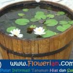Gambar Foto Cara Merawat Bunga Teratai di Pot Air