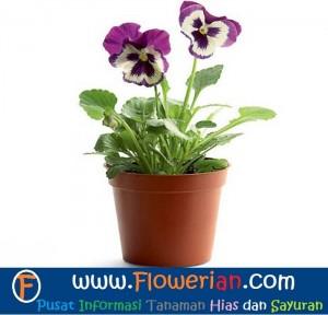 Gambar Foto Cara Merawat Bunga Viola Ungu di Dalam Pot Ruangan