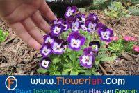 Gambar Foto Cara Merawat Bunga Viola Ungu di Tanah Luar