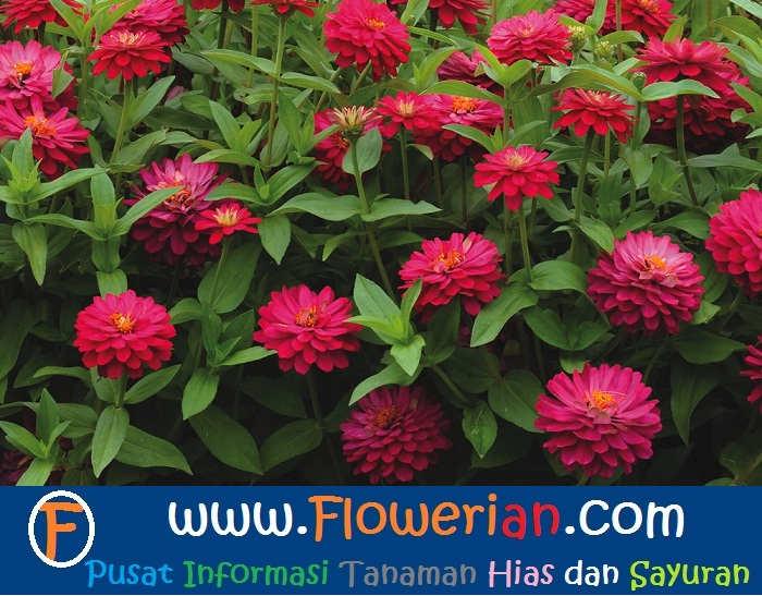 Mudahnya Cara Merawat Bunga  Zinnia  Tanaman Hias Bunga