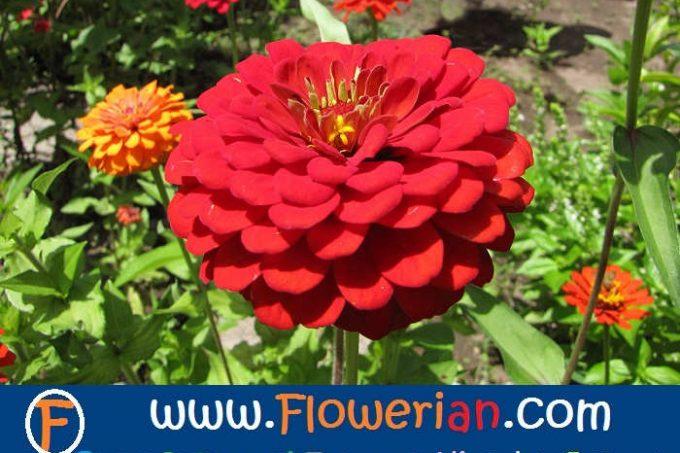 Gambar Foto Cara Merawat Bunga Zinnia di Kebun