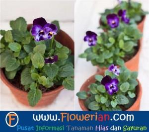 Gambar Foto Merawat Bunga Viola Ungu Dalam Pot Kecil