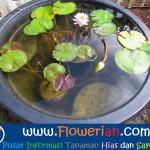 Gambar Foto Tips Bagaimana Cara Merawat Bunga Teratai Cepat Berbunga