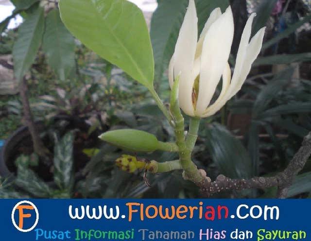 Gambar Foto Cara Menanam Bunga Cempaka Agar Cepat Berbunga