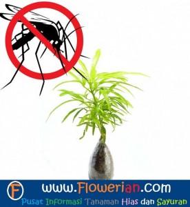 Gambar Foto Cara Merawat Bunga Zodia Pengusir Nyamuk